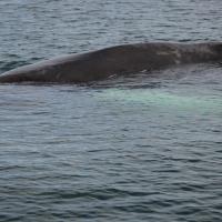 305 Baleine Husavik