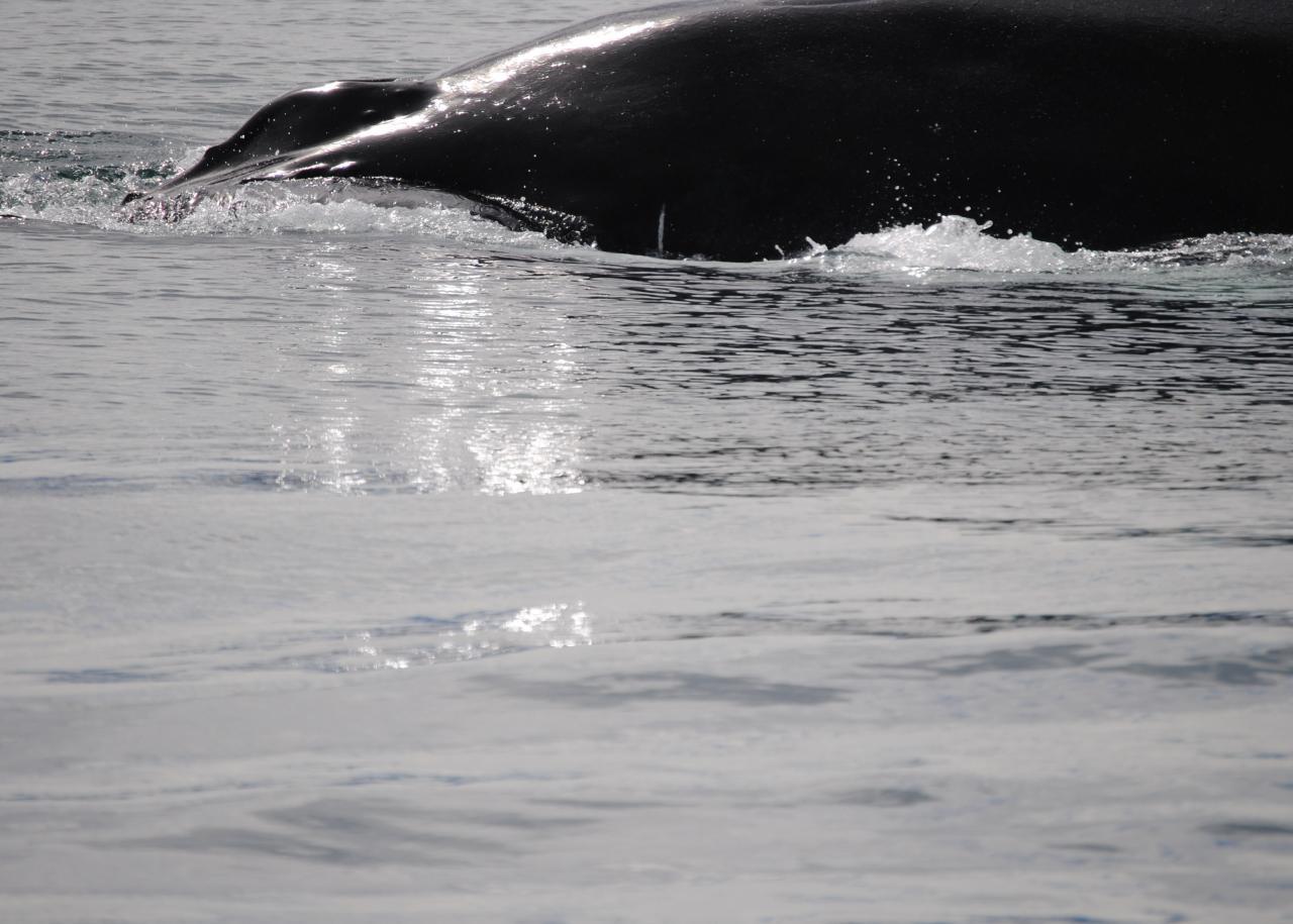 311 Baleine Husavik