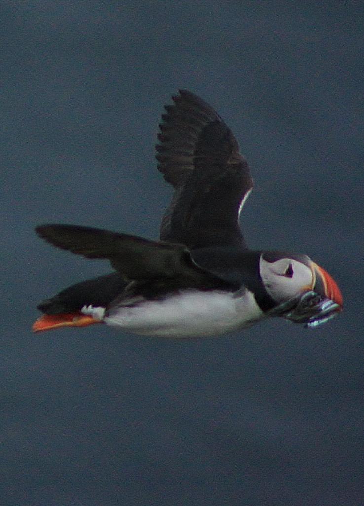 345 Macareux en vol poisson