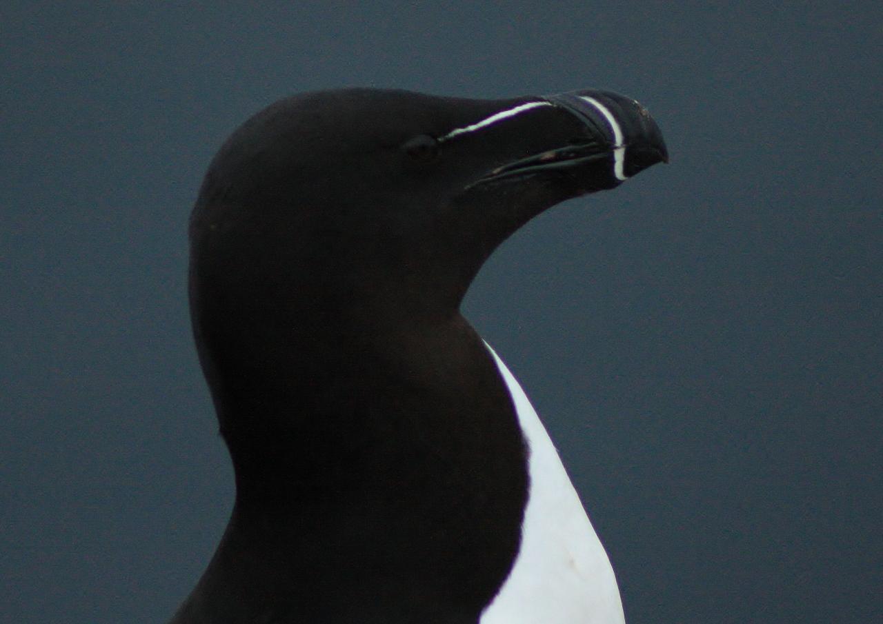 346 Pingouin Torda