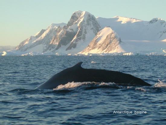 Antarctique baleine