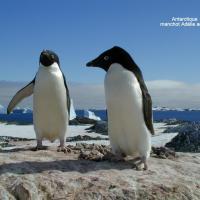 Antarctique Manchot Adelies adultes