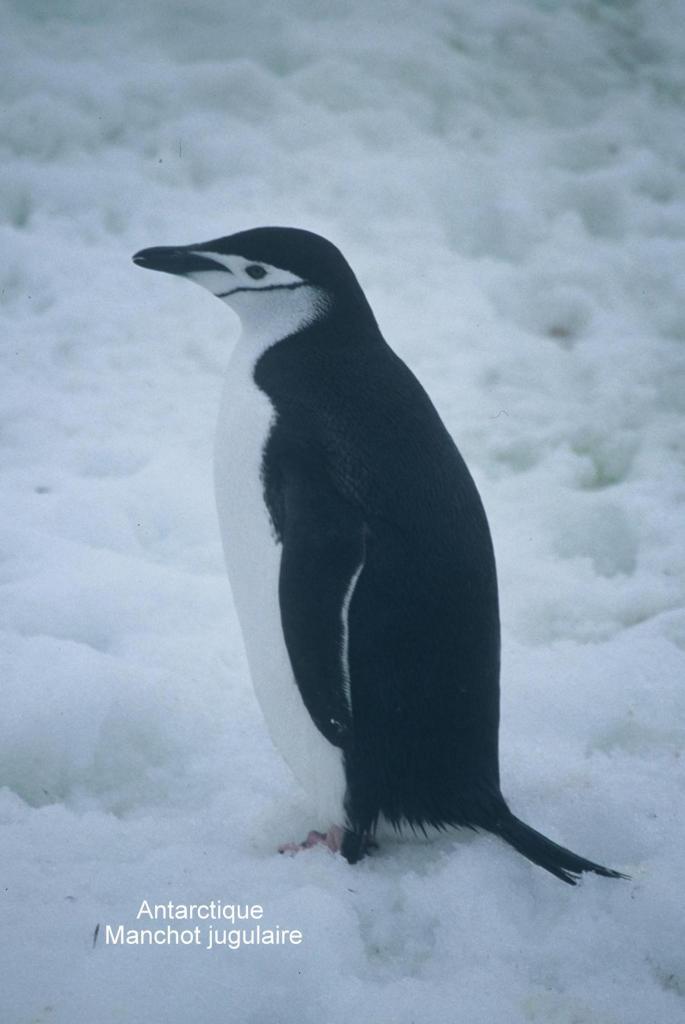 Antarctique Manchot Jugulaire