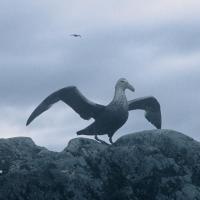 Antarctique Petrel Géant adulte géant