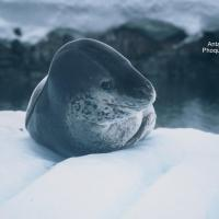 Antarctique Phoque léopard 2