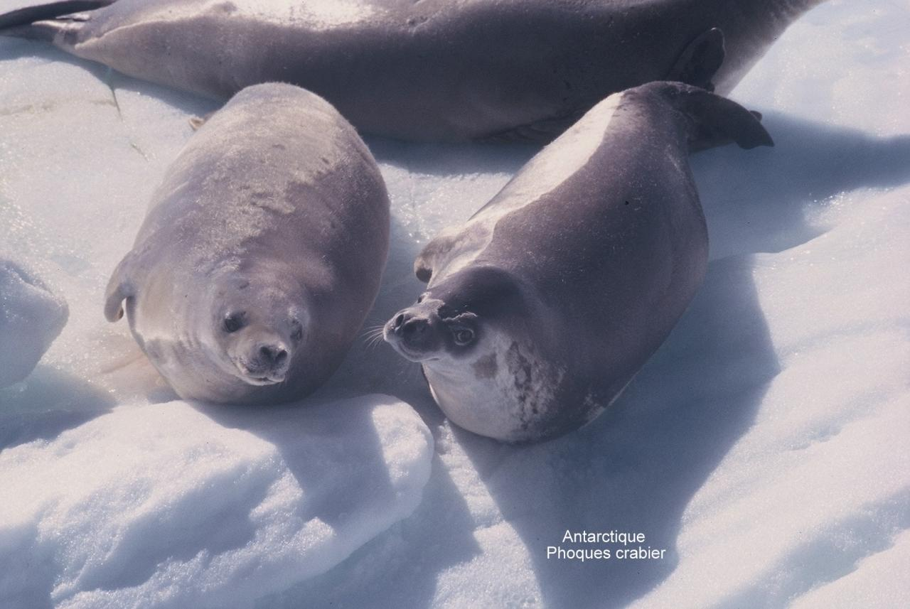 Antarctique Phoques crabier