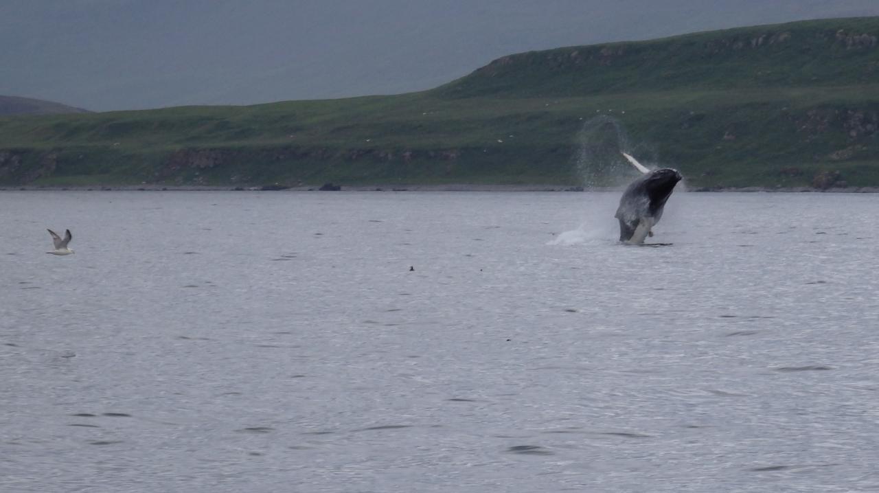 baleine qui saute