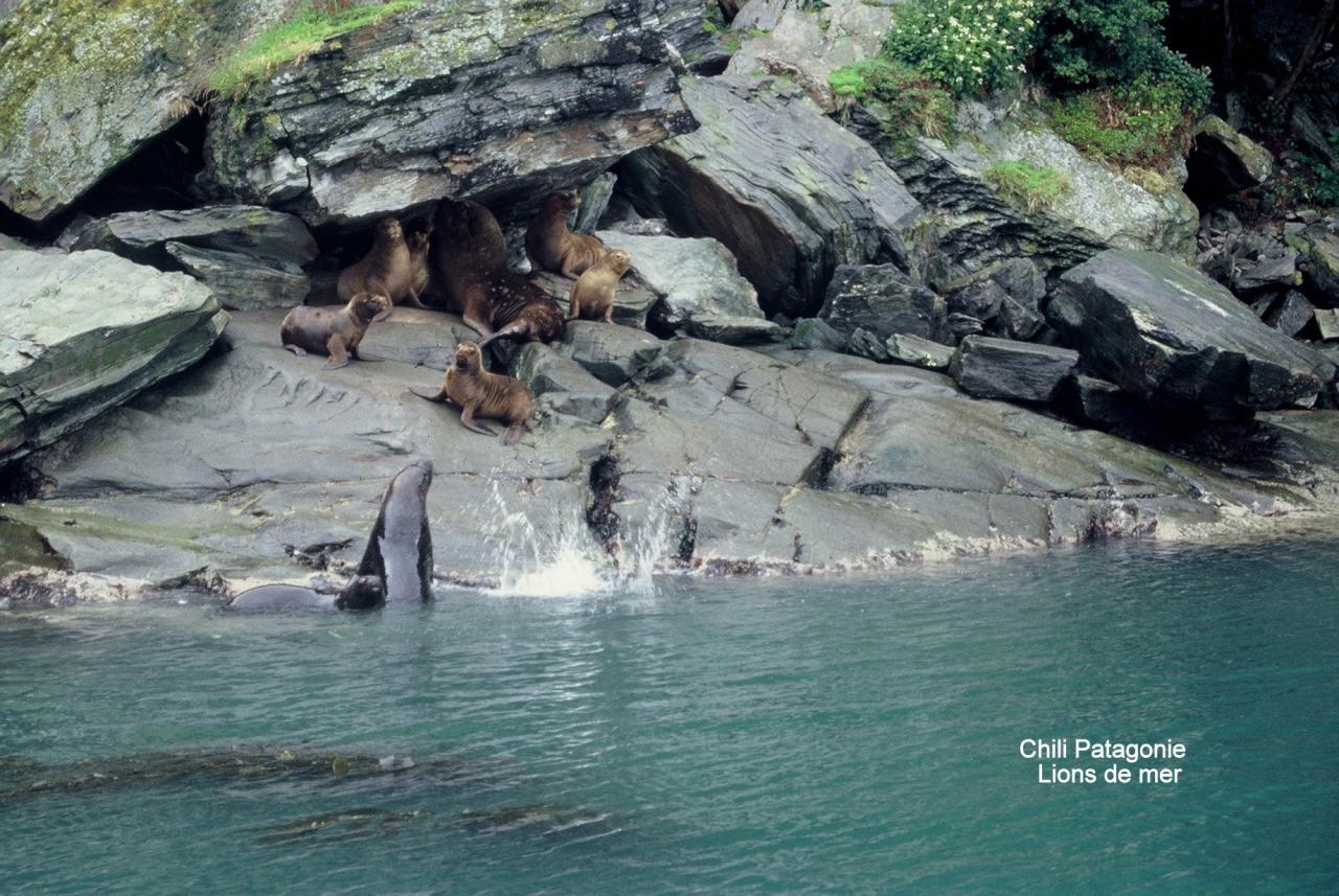 Chilli Patagonie  Lions de mer
