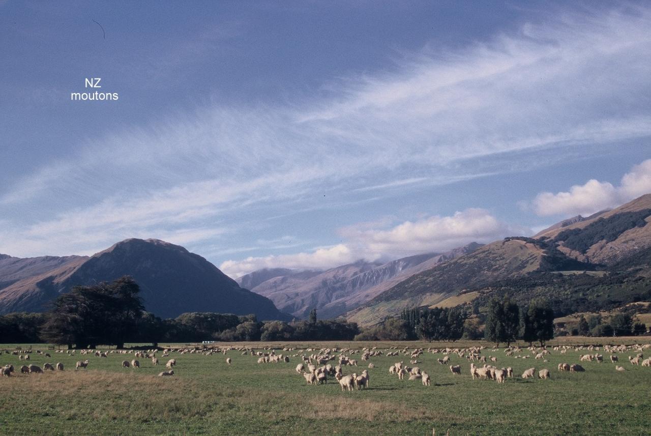 NZ Moutons