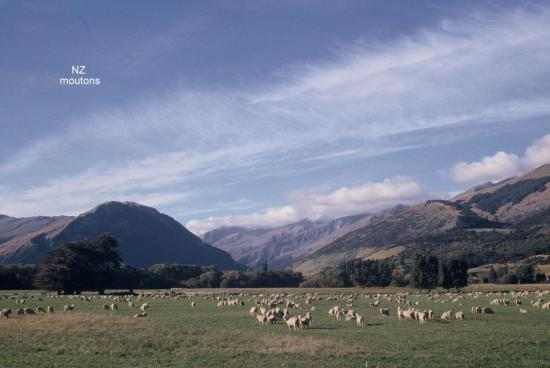 NZ Moutons