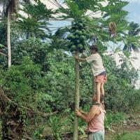 Polynésie  cueillette papaye